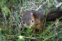 Pikku orava