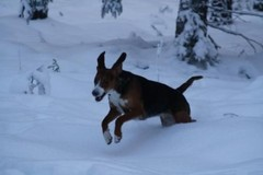 the_finnish_hound