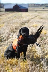 Pheasant hunt_Oct11