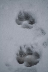 footprints of a labrador