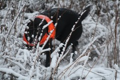hauho_pheasant_hunt_dec8_2013_007