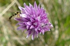 Sipulikasvi ja hyönteinen Utössä