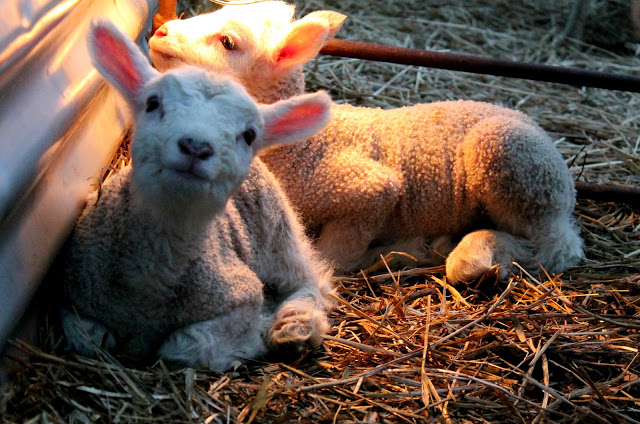 Kevään 2013 ensimmäiset karitsat syntyivät 10.03