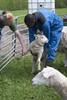 Eläinlääkäriopiskelijat Tansaniasta vierailulla