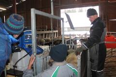 Keväällä 2014 syntyvien karitsoiden lukumäärä selvitettiin 12.01.