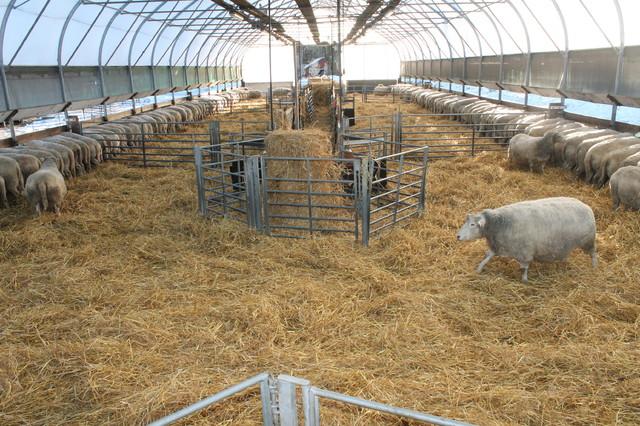 Vielä 4 viikkoa niin karitsoita alkaa syntyä.