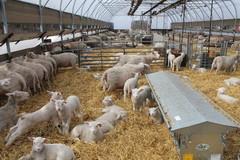Reilu 3 viikkoa, yli 300 karitsaa syntynyt.