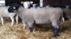 Dominic 170, Suffolk-rotu, ostettu 2015.