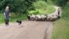 Siirtoja laidunlohkolta toiselle. Kuvassa keväisiä karitsoita.