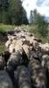 Keväällä syntyneitäpässikaritsoja tulossa punnitukseen