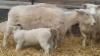 Neljän viikon karitsointijakso, reilu 300 karitsaa syntynyt.