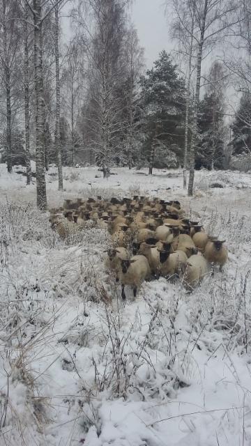 Talvi yllätti kesken laidunnuksen, nyt kotiin...