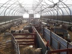 Reilu 300 karitsaa syntyi 3 viikossa, vähän vielä ja kesä voi alkaa.