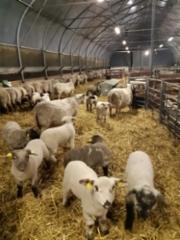 Melkein kaikki reilu 300 karitsaa syntyi 4 viikossa, Nyt odotellaan laitumille päsyä.