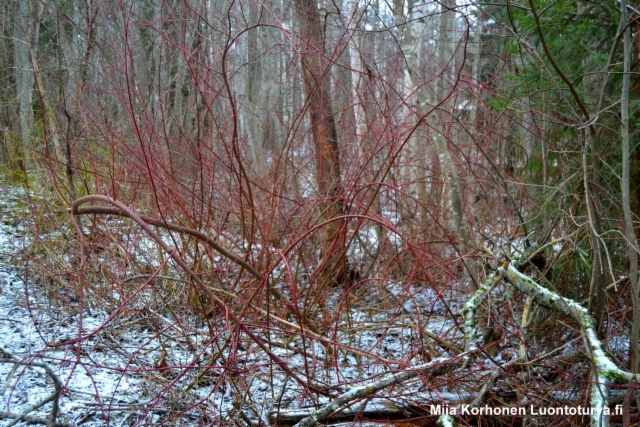 luontoturva.fi_kanukka_luontoon_levinneena._talvella_punaiset_ja_keltaiset_oksat_erottaa_hyvin_ymparistosta