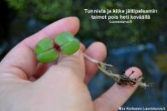 tunnista_ja_kitke_jattipalsami_pois_heti_kevaalla_luontoturva.fi