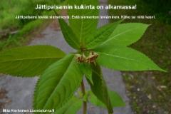 luontoturva.fi_esta_jattipalsamin_leviaminen_niita_tai_kitke_kasvi