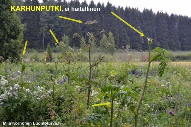 karhunputki_ei_haitallinen._luontoturva.fi_