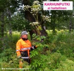 karhunputki_ei_ole_haitallinen_vieraslaji_luontoturva.fi.2017_jpg