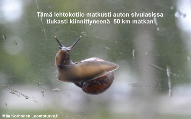 lehtokotilot_leviavat_mm._ajoneuvojen_mukana