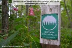 jattipalsami_leviaa_luonnonsuojelualueillakin_luontoturva.fi