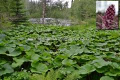 0130_etelanruttojuuri_ja_kukinto_miia_korhonen_luontoturva.fi