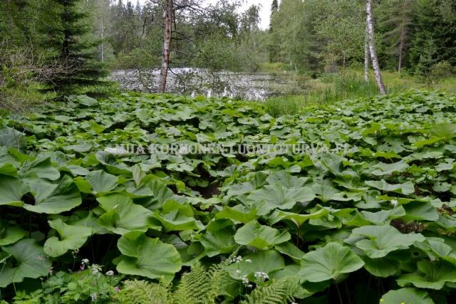 0131_etelanruttojuuri_estaa_muiden_kasvien_kasvua_miia_korhonen_luontoturva.fi