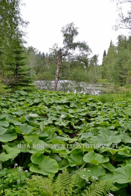 0134_etelanruttojuuri_lammenrannalla_miia_korhonen_luontoturva.fi