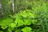 0135_etelanruttojuuri_leviaa_luonnossa_miia_korhonen_luontoturva.fi