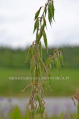0153_rehuvuohenherneen_palot_miia_korhonen_luontoturva.fi