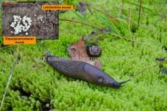0161_espanjansiruetanan_ja_lehtokotilon_munat_miia_korhonen_luontoturva.fi
