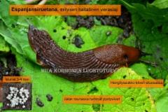 0171_tunnista_espanjansiruetana_miia_korhonen_luontoturva.fi