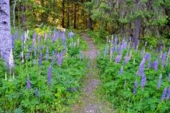 0183_lupiini_estaa_muiden_kasvien_kasvua_ja_muuttaa_maaperaa_typpipitoisemmaksi_miia_korhonen_luontoturva.fi