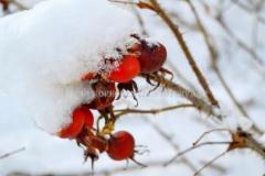 0204_kurtturuusu_talvella_miia_korhonen_luontoturva.fi