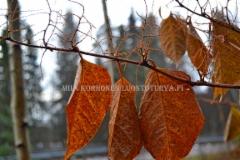 0215_japanintatar_syksylla_miia_korhonen_luontoturva.fi