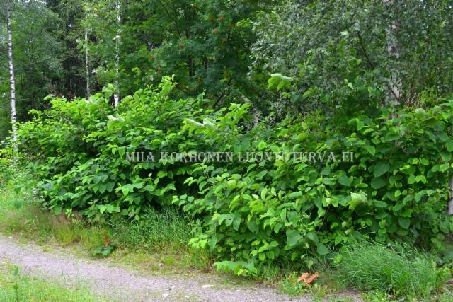0218_japanintatar_luontoon_levinneena_puutarhjatteesta_miia_korhonen_luontoturva.fi