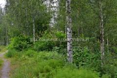 0220_japanintatar_on_hankala_havitettava_joka_leviaa_luonnossa_laajoille_alueille_miia_korhonen_luontoturva.fi