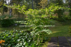 0221_ala_istuta_japanintatarta_puutarhaasi_miia_korhonen_luontoturva.fi
