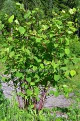 0222_japanintatar_leviaa_maansiirtojen_ja_puutarhajatteen_mukana_luontoon_miia_korhonen_luontoturva.fi