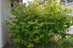 0226_ala_istuta_japanintatarta_miia_korhonen_luontoturva.fi