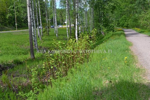 0331_japanintatar_kavelytien_varrella_miia_korhonen_luontoturva.fi