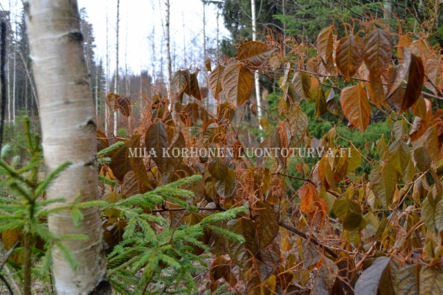 0334_japanintatar_syksylla_miia_korhonen_luontoturva.fi
