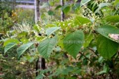 0224_japanintatar_kukkii_loppu_kesasta_miia_korhonen_luontoturva.fi