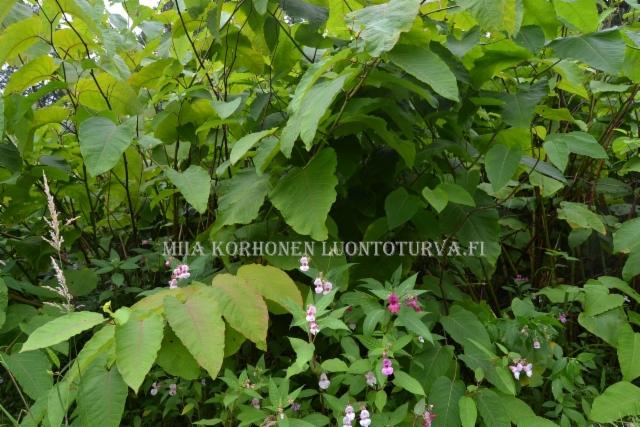 0442_jattitataren_korkea_ja_tihea_kasvusto_miia_korhonen_luontoturva.fi
