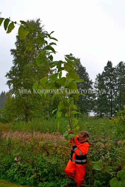 0444_jattitatar_kasvaa_4_-_5_m_korkeaksi_miia_korhonen_luontoturva.fi