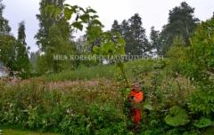 0445_ala_paasta_puutarhankasveja_leviamaan_luontoon_miia_korhonen_luontoturva.fi