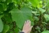 0447_jattitataren_lehti_miia_korhonen_luontoturva.fi