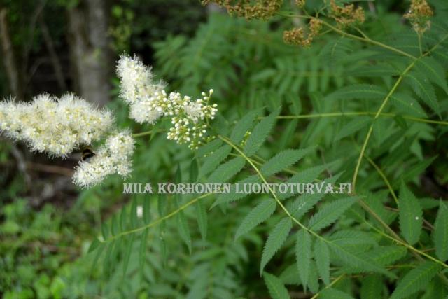0469_viitapihlaja-angervon_kukinta_miia_korhonen_luontoturva.fi