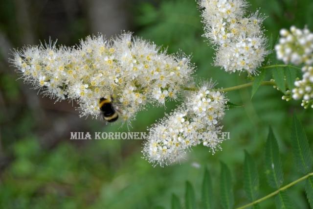 0471_viitapihlaja-angervo_kukinto_miia_korhonen_luontoturva.fi