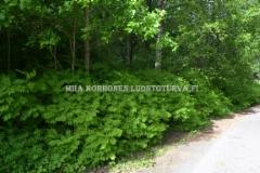 0472_viitapihlaja-angervo_leviaa_juurivesoilla_miia_korhonen_luontoturva.fi